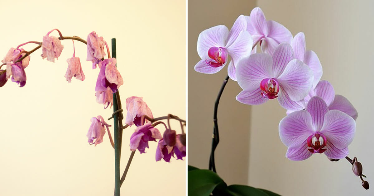Expert Trick Helps Tired Orchids Bloom Again Using Just 1